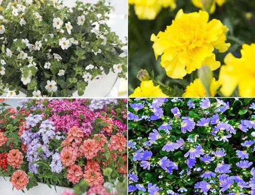 Späte Blüher: Farbe für den sommerlichen Balkon